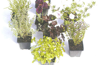 Plante-vivace